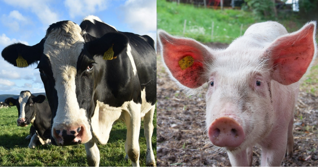 cow&pig