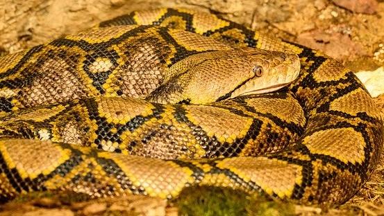 ダイヤモンドニシキヘビ